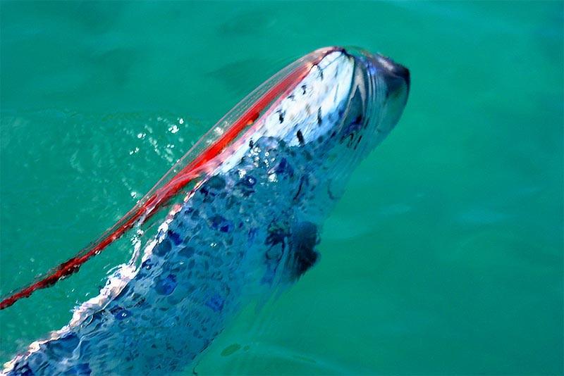 ปลา Oarfish (ออร์ฟิซ) ยามแหวกว่ายในท้องทะเลกว้าง